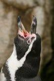 Skrika för Humboldt pingvin Royaltyfri Fotografi
