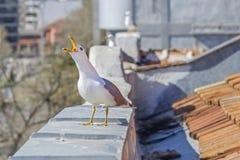 skrika för seagull Arkivfoto