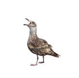 Skrika för Seagull. Isolerat. Royaltyfri Bild
