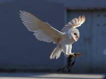 Skrikig landning för ladugårduggla royaltyfri foto