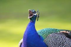 Skrikig påfågel Arkivbild