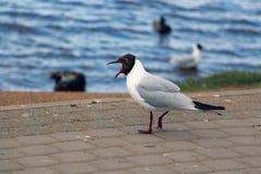 Skrikig Seagull Royaltyfria Bilder