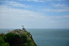 Skrikig Seagull Arkivfoto