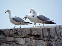 skrikig seagull fotografering för bildbyråer