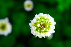 Skrikigt blomma för fältväxt av släktet Trifoliumknopp Arkivfoton