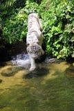 Skrivande in damm för tiger Arkivfoton