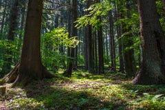 Skrivande in morgonljus i den härliga intakta pinjeskogen arkivfoto