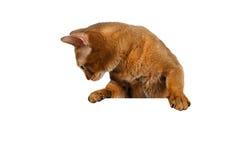 Skrivbordet för den Abyssinian katten för closeupen tafsar det främre med och se ner Royaltyfri Fotografi