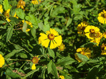 Skromny kolor żółty kwitnie helenium Fotografia Stock