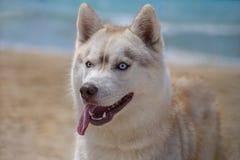 Skrovlig avelhund Royaltyfri Fotografi