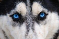 Skrovlig blick för blåa ögon royaltyfri bild