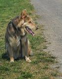 Skrovlig & Colley hund Royaltyfri Foto