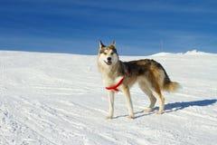 Skrovlig hund i snön royaltyfri foto