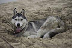 Skrovlig hund som ligger i den varma sanden Arkivbild