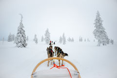 Skrovlig hund som sledding i Lapland Finland Arkivfoto