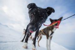 Skrovlig hund som sledding i Norge Fotografering för Bildbyråer