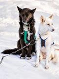 Skrovlig hundkapplöpning i pulka på Lapland Finland Arkivfoton