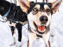Skrovlig hundkapplöpning i släde på Lapland Finland Royaltyfria Bilder