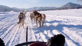 Skrovlig hundpulka Gullig skrovlig sledding hund Siberian skrovlig konkurrens för lopp för slädehund Sikt från släden lager videofilmer