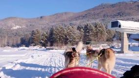 Skrovlig hundpulka Gullig skrovlig sledding hund Siberian skrovlig konkurrens för lopp för slädehund Sikt från släden stock video
