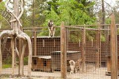 Skrovlig lantgård Hundsammanträde på staketet Royaltyfri Foto