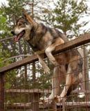 Skrovlig lantgård Hundsammanträde på staketet Royaltyfria Bilder