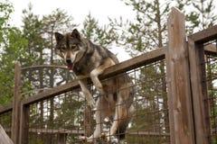Skrovlig lantgård Hundsammanträde på staketet Fotografering för Bildbyråer