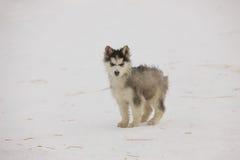 Skrovlig valp i snön Fotografering för Bildbyråer