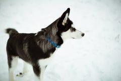 Skrovlig valphund på snö Royaltyfri Foto