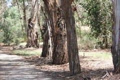 Skrovliga eukalyptusträd Australien Arkivbild