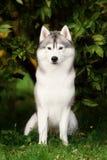 Skrovliga vit och Gray Adult Siberian Husky Dog eller Sibirsky fotografering för bildbyråer