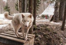 Skrovligt hundsiberiandjur Royaltyfria Foton