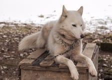 Skrovligt hundsiberiandjur Arkivfoto
