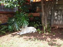 Skrovligt vila för Malamute under träd Arkivfoton