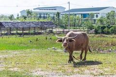 Skrubbsår för albinobuffel (den vita buffeln) på ängen Arkivfoto