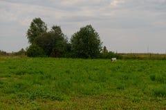 Skrubbsår för en ko på en glänta Fotografering för Bildbyråer