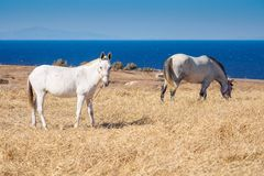 Skrubbsår för två hästar på torr äng Royaltyfri Foto