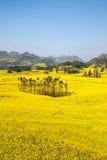 Skruvar för fot för Yunnan Luoping terrasserade ståndsmässiga Niujie församlingläger canolablomman Arkivfoto