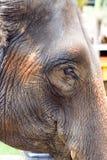 Skrynklor på den tjocka huden av elefant`en s head Arkivfoton
