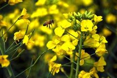 Skrzętne pszczoły Zdjęcia Royalty Free