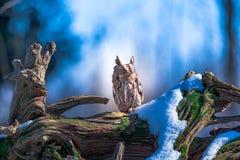 Skrzeczenie sowa obraz stock
