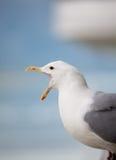 Skrzeczy seagull Zdjęcie Stock
