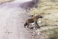 Skrzyżowanie hieny Zdjęcia Stock