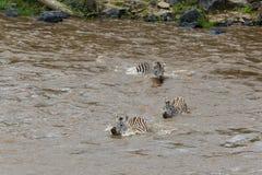 Skrzyżowanie zebry na opposite banku Mara rzeka Kenja, Afryka Obrazy Royalty Free