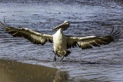 Skrzydła rozprzestrzeniają pelikana lądowanie zdjęcia stock