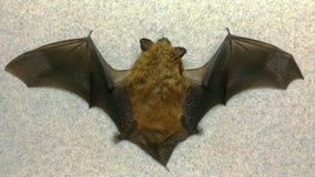 Skrzydła i plecy duży brown nietoperz Obraz Royalty Free