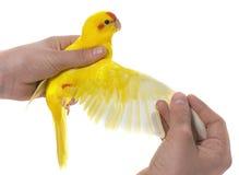 Skrzydło Stać na czele Kakariki parakeet Fotografia Royalty Free