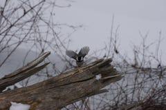 Skrzydła chickadee Obraz Royalty Free