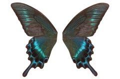 Skrzydła motyli Papilio maackii Obraz Stock