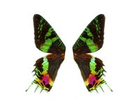 Skrzydła motyli urany Obraz Royalty Free